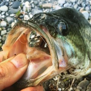 Bodensee Bass