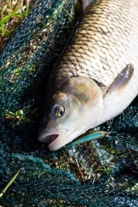 Döbel auf die Fish Arrow - Three Shot Minnow 65SP0