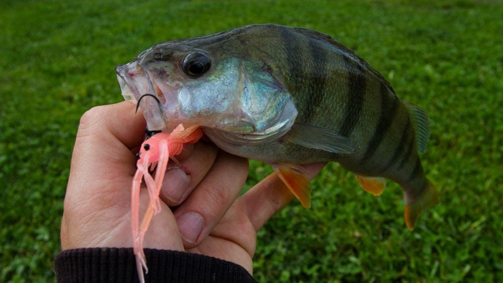 Das Neko Rig - Barsch & Frill Shrimp