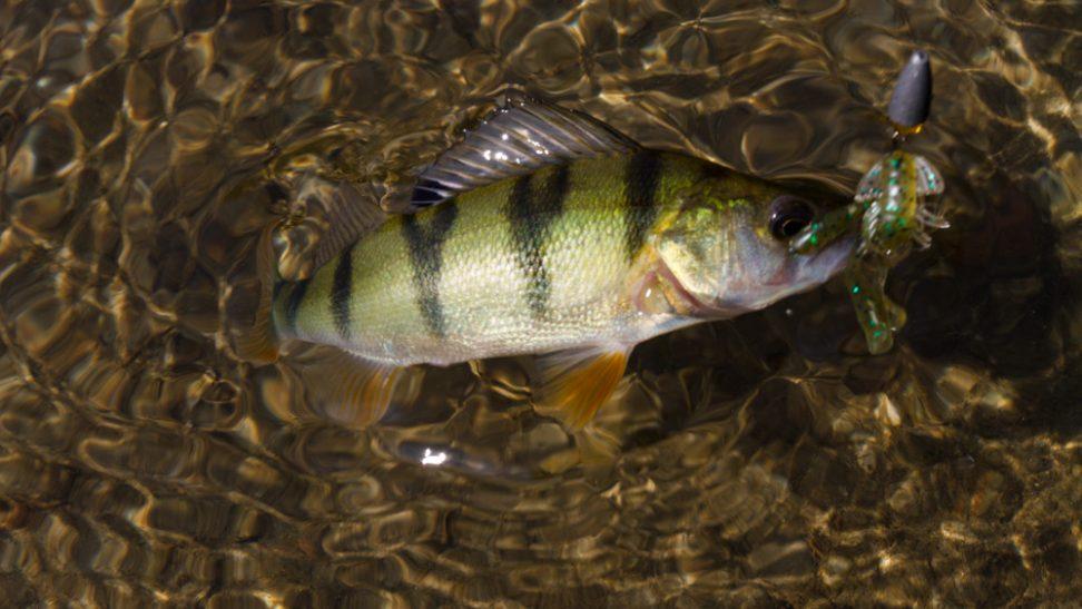 Streetfishing Barsch mit einer Rush Craw