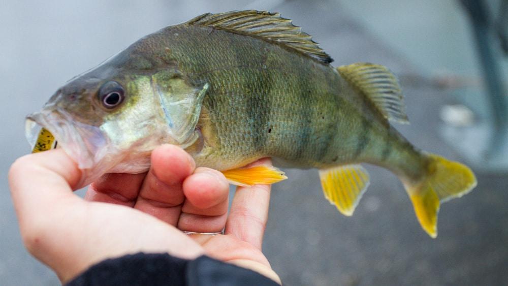reins Curly Curly am Crazy Fish Flex Jig - Offensichtlich eine gut Wahl!