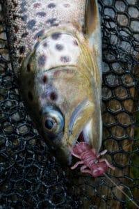 Bachforelle auf die Fanatik Baits - Larva am Carolina Rig