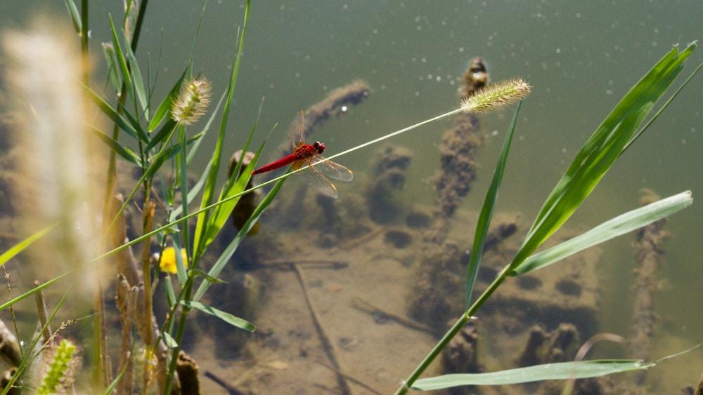 Libelle am Laghetto Di Marola